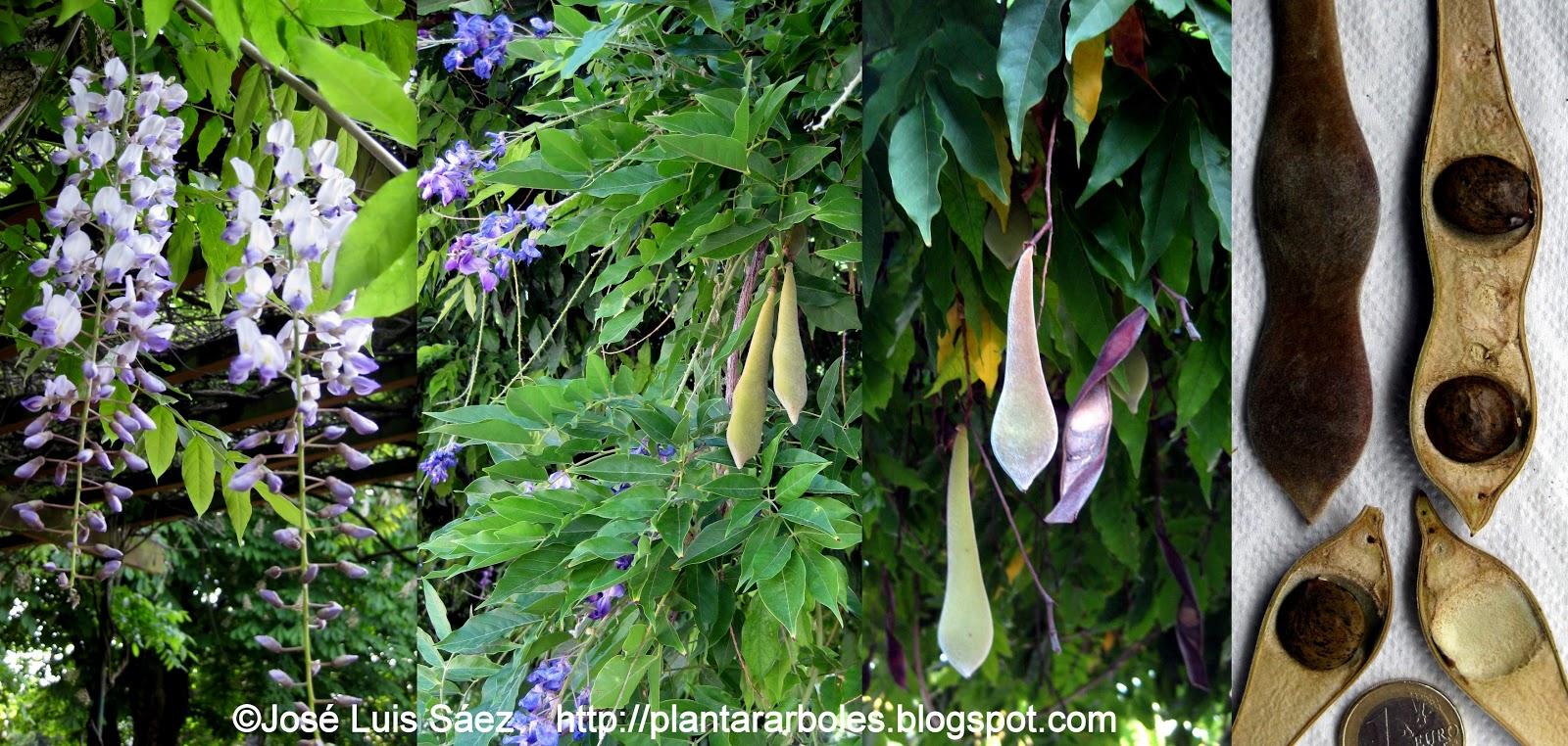 Plantar rboles y arbustos arbustos no aut ctonos de for Glicina planta