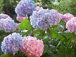 ..... les hortensias et les jardins