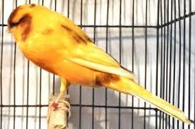 Ciri Burung Kenari Yorkshire Berkualitas