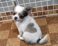 Sırtında Kalp Olan Sevimli Küçük Köpek