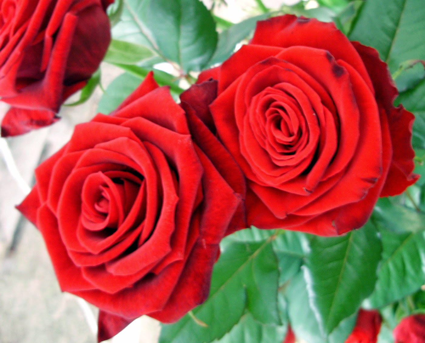 Red Roses Free Photos for free Download
