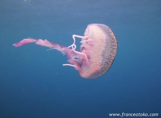 南仏、海の生物、くらげ