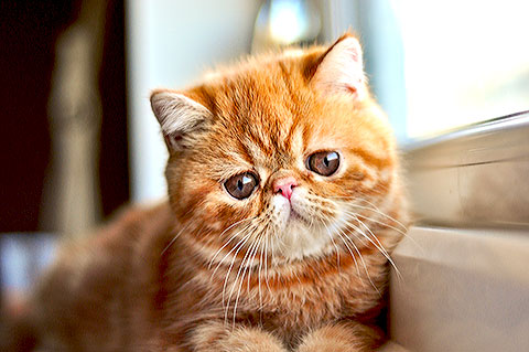 Gato da raça Exotic Shorthair