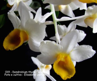 Dendrobium thyrsiflorum (Callista thyrsiflora) do blogdabeteorquideas