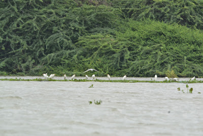 Migratory bird at chilika lake, stapada