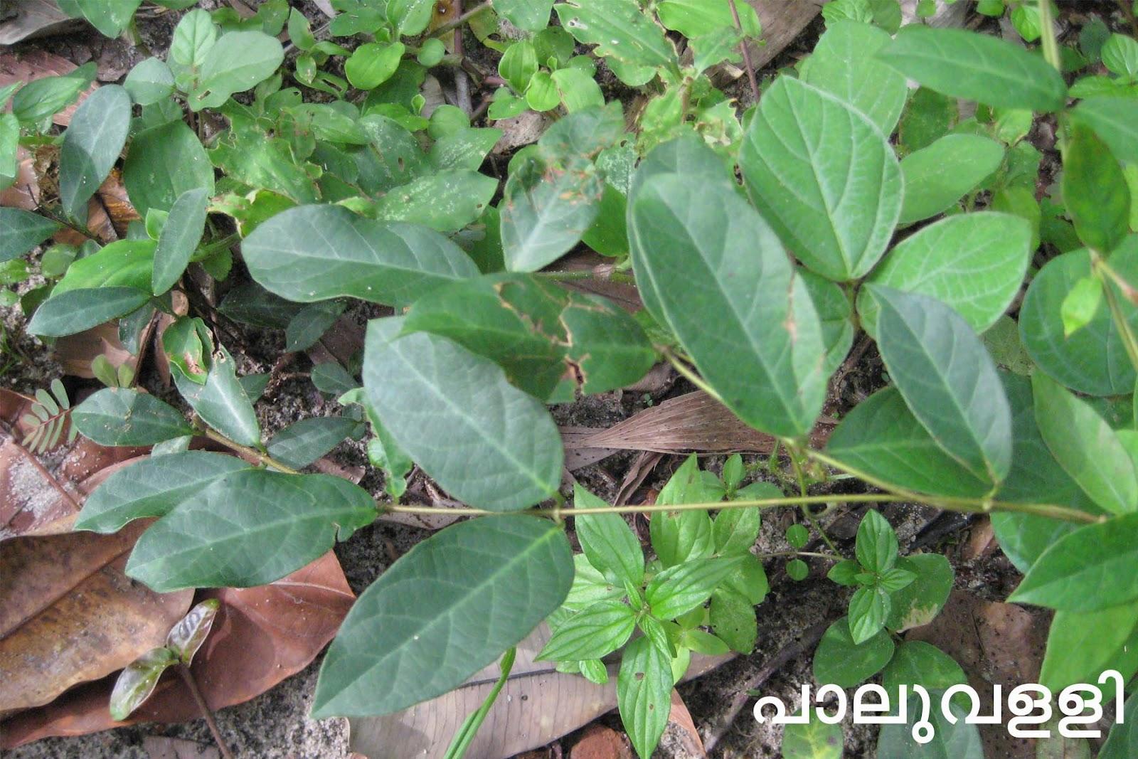 medicinal plants in kerala pdf