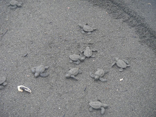 releasing of baby turtles