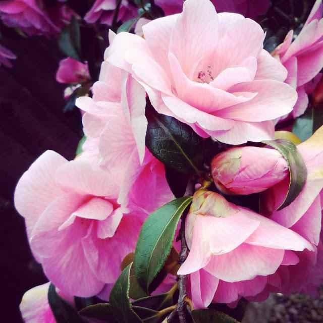 pink flowers in garden, England