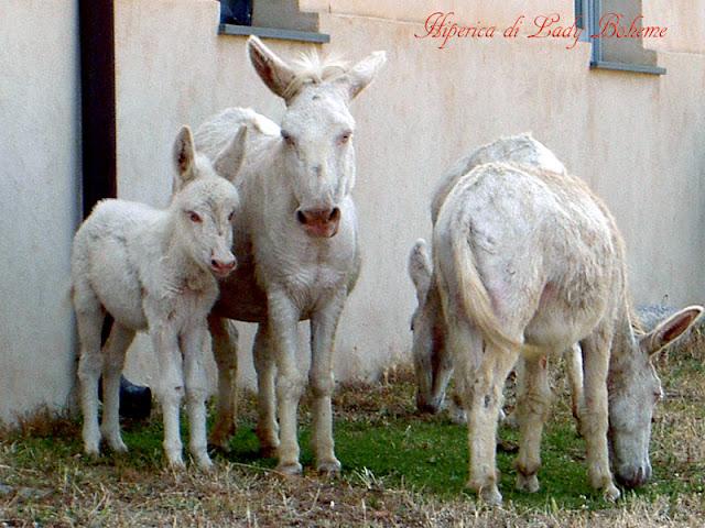 hiperica_lady_boheme_blog_di_cucina_ricette_gustose_facili_veloci_asini_albini