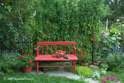 Growing tomatoes on a fence as a visual backdrop