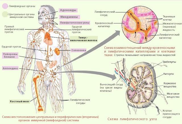 rabota-limfaticheskoj-sistemy