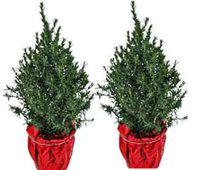 As soon as the Holidays are over, move the plant to an unheated room, such  as a garage or an enclosed back porch. The plant is normally dormant and  doesn't ... - Ozarks Gardening: Rosemary Christmas Trees Indoors
