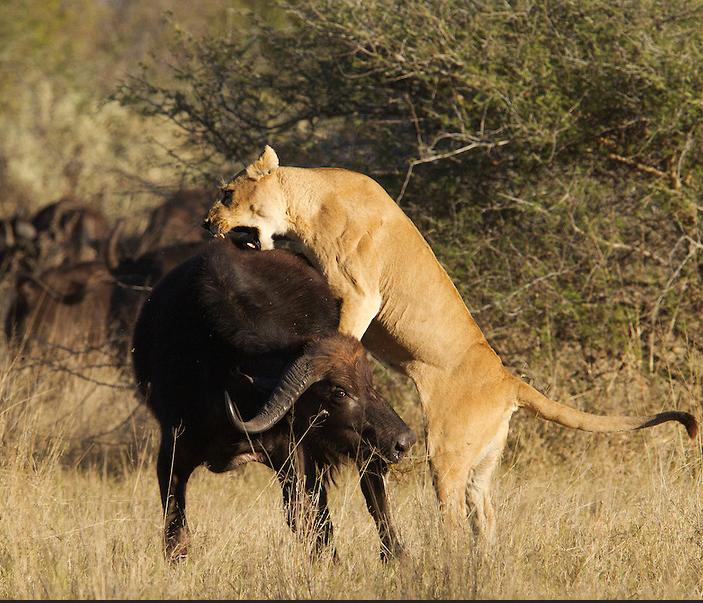 leoa-caçando