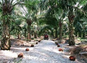 membangun-kebun-kelapa-sawit.jpg