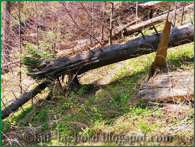 copaci cazuti pe traseu spre cabana Bunloc