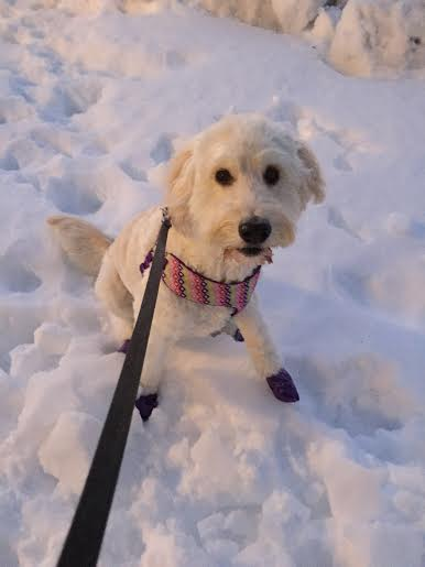 snowy goldendoodle