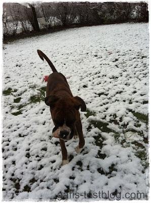 Boxer Amy im Schnee