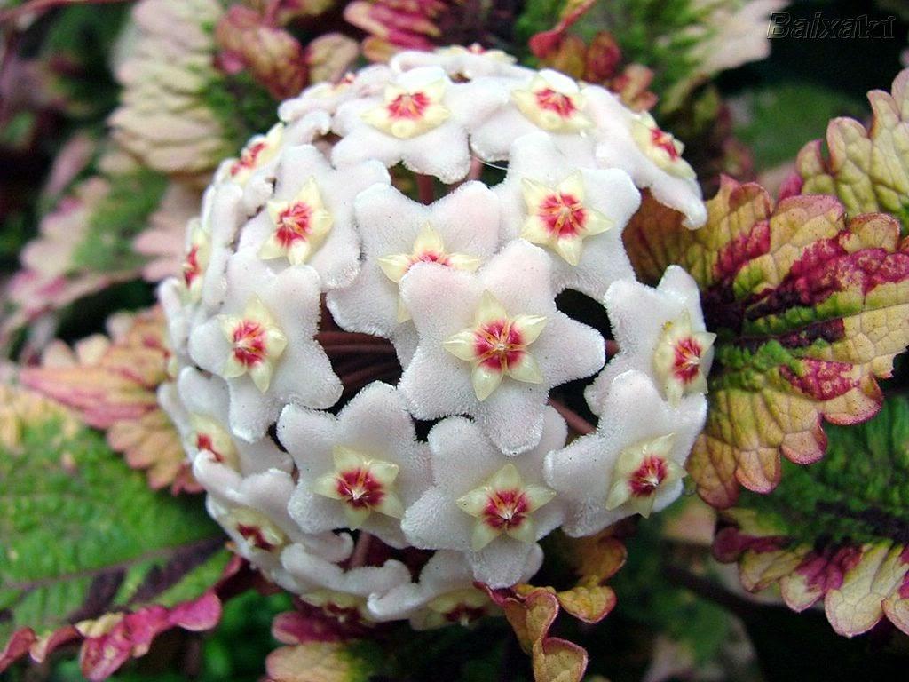 Suas flores parecem feitas de cêra ou de porcelana, podem ser de