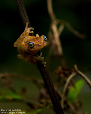 Blue-eyed Bush Frog, Philautus Neelanethrus, Raorchestes lutelus, Coorg yellow Bush Frog, western ghats, sharavathi rainforest amphibians, frogs, frogs of india, indian frogs, nikon d3s, nikon 105mm macro, nikkor 105mm, angad achappa, macro photography