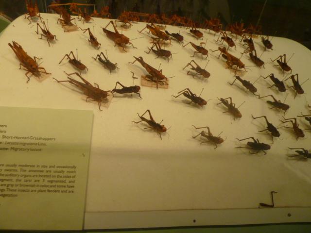 Crickets-Hayop na matatagpuan lang sa Pilipinas