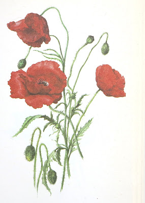 poppies, Wilde planten in bos en veld. Drawings by E. Demartini en V. Nicova, thrifted, vintage,