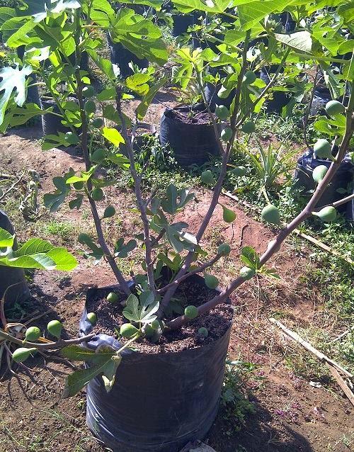 Figs : Conadria