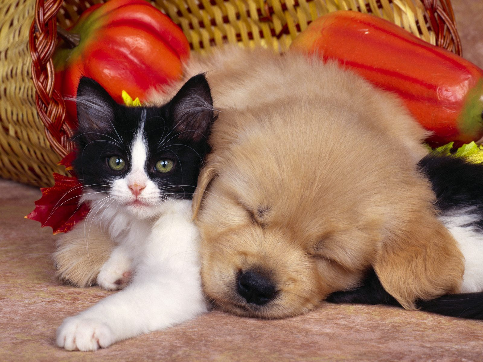 best wallpapers: dog wallpapers