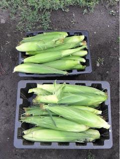 15 августа, урожай початков кукурузы