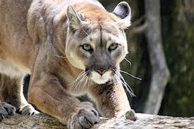 puma y jaguar