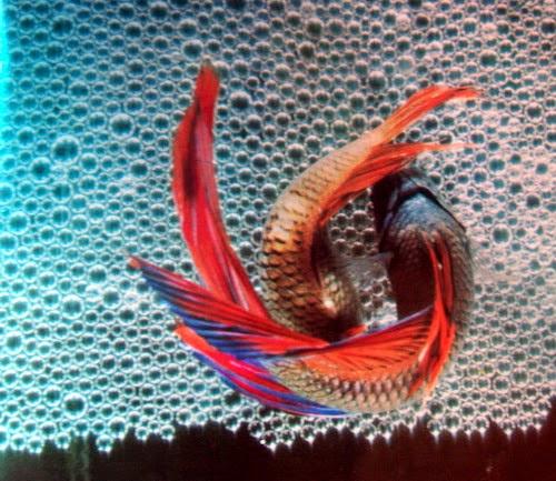 Cara Pembenihan Budidaya Ikan Cupang - Alam Ikan