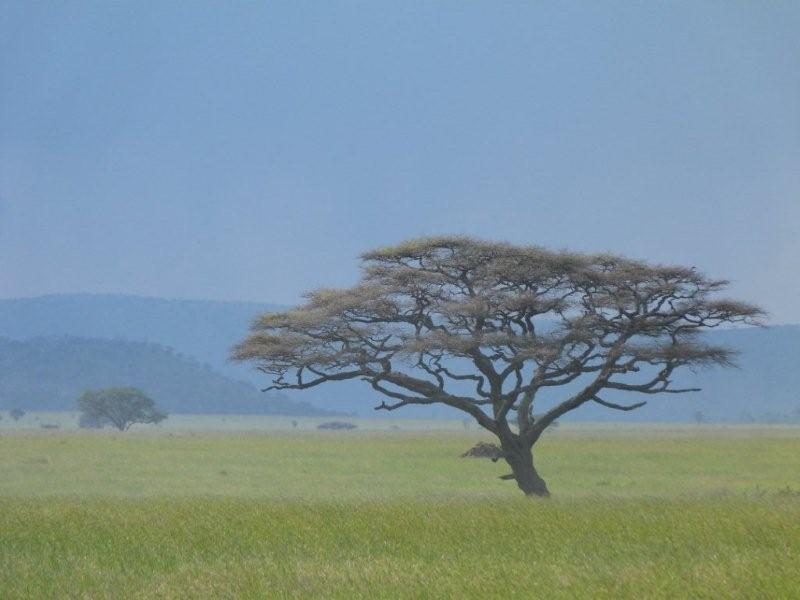 I love Vachellia tortilis! Another in Serengeti. & Safari Ecology: Why do savanna trees have flat tops?
