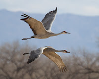 Sandhill Cranes always seen together