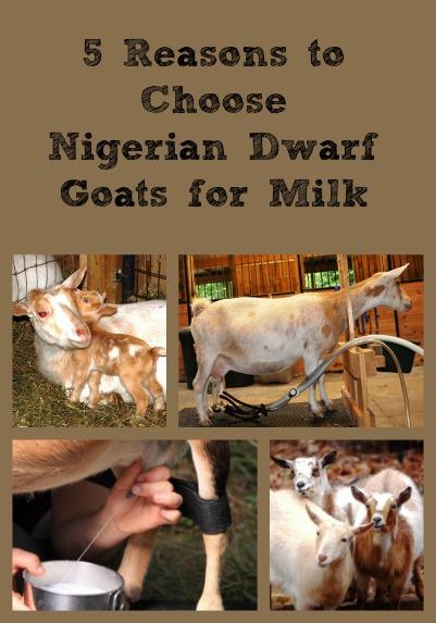 nigeria dwarf goats
