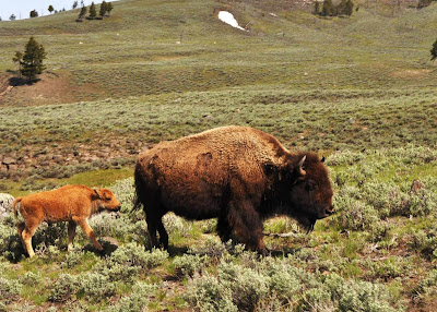 momma and baby bison