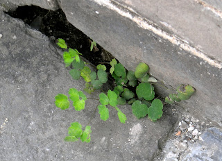 unidentified plant growing on the Great Wall