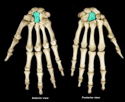 Пальпация головчатой кости os capitatum