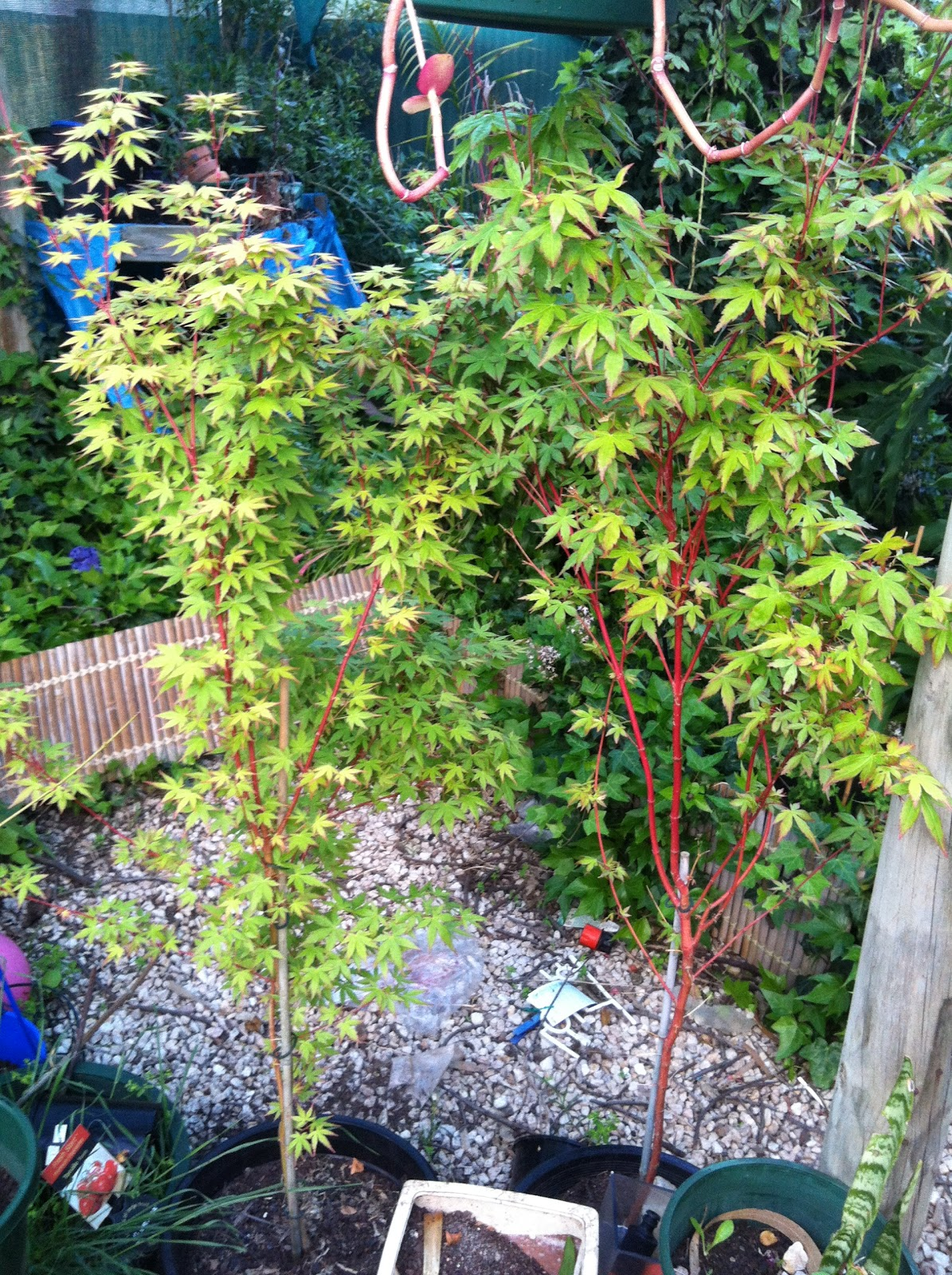 Bo Gas39s Thoughts Japanese Maples