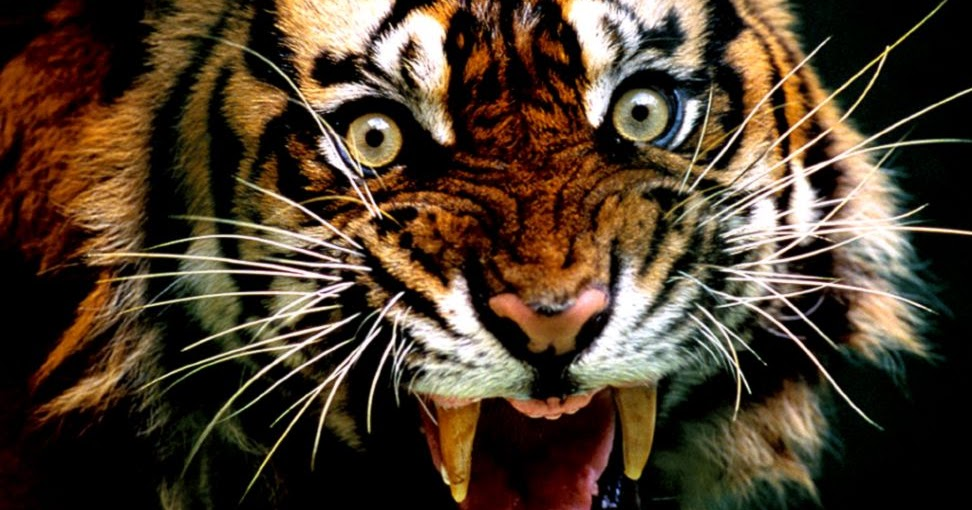 Angry Tiger Wallpaper Hd | Wallpapers Gallery