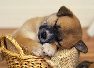 nằm mơ thấy chó, giải mã giấc mơ