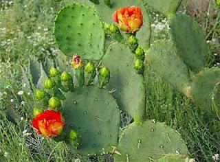 kaktus gepeng