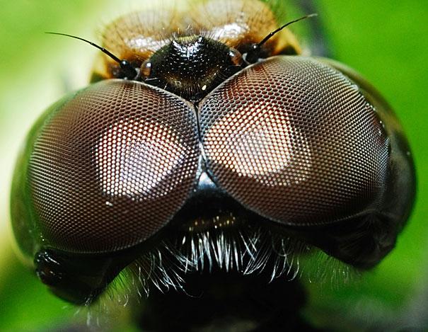 عين ذبابة التنين