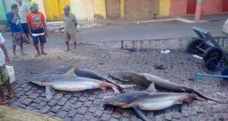 Pescadores capturam quatro tubarões em Piaçabuçu