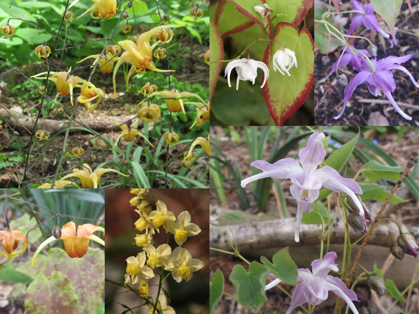 April en Mei weken van de Elfenbloem
