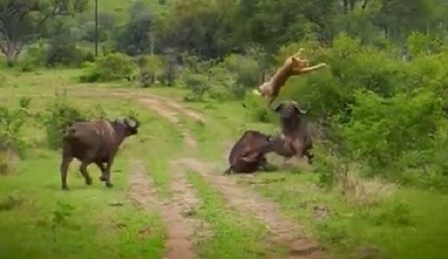 bufalo defiende a su amigo de un león