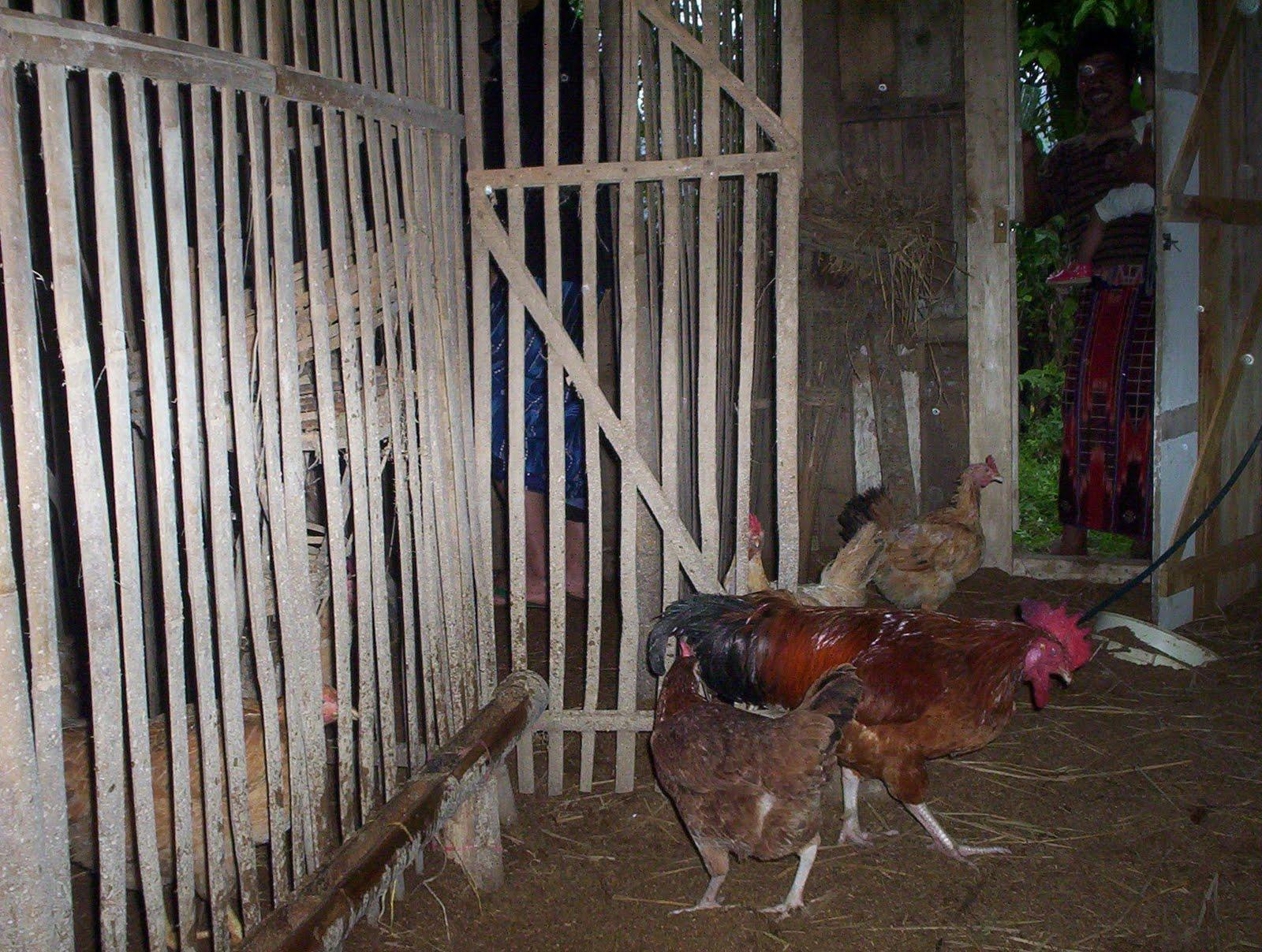 Kandang ayam lingnan dan ayam kampung super terbuat dari bambu, atap