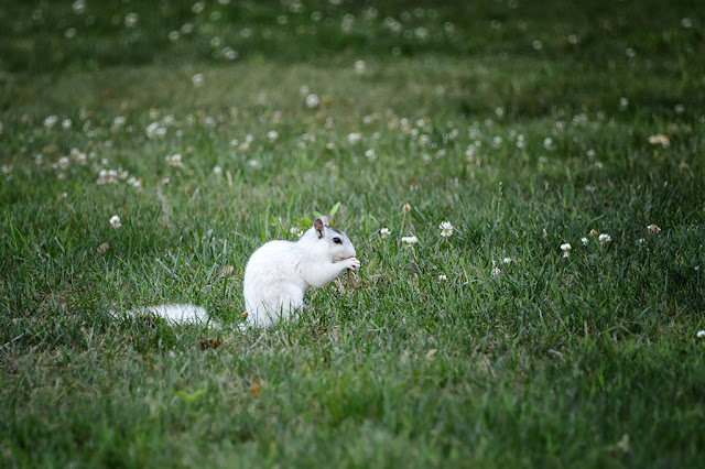 White Squirrel in Brevard, NC