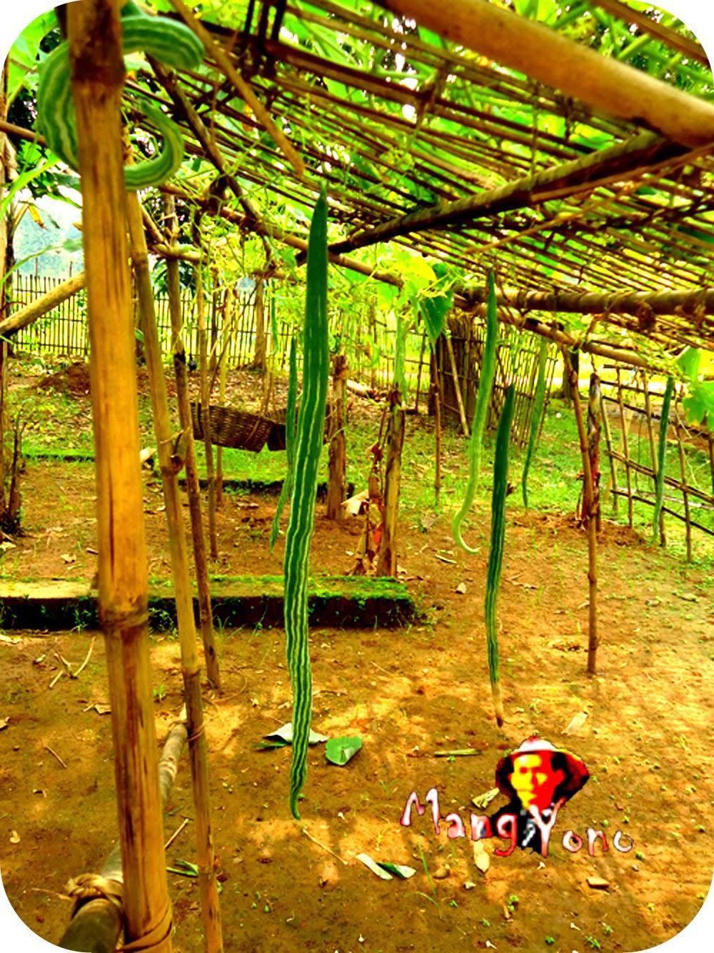 Tanaman Paria Belut bagus untuk tanaman hiasan didepan Rumah