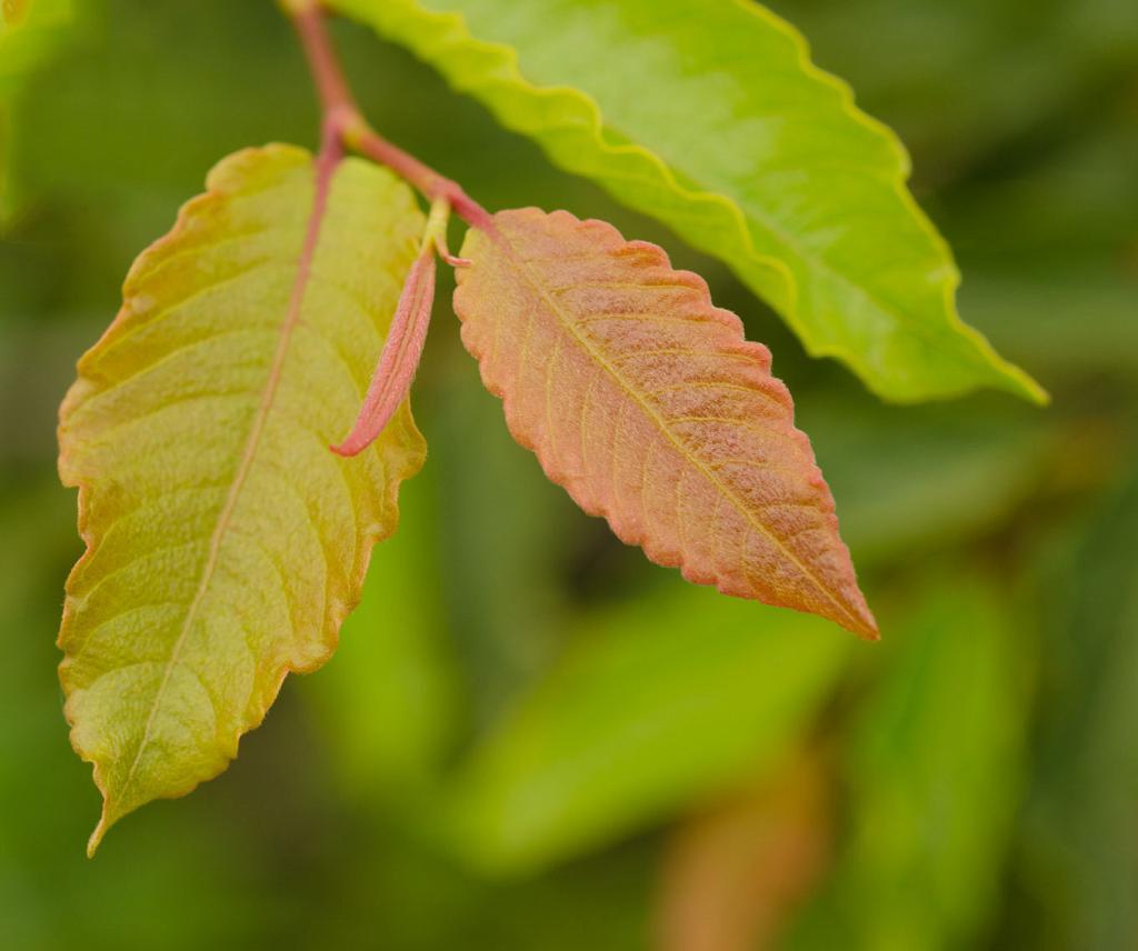 Manzano del campo for Lista de arboles frutales de hoja perenne