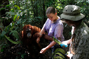the jungle guide do big effort to help the tourist from orangutan robbing