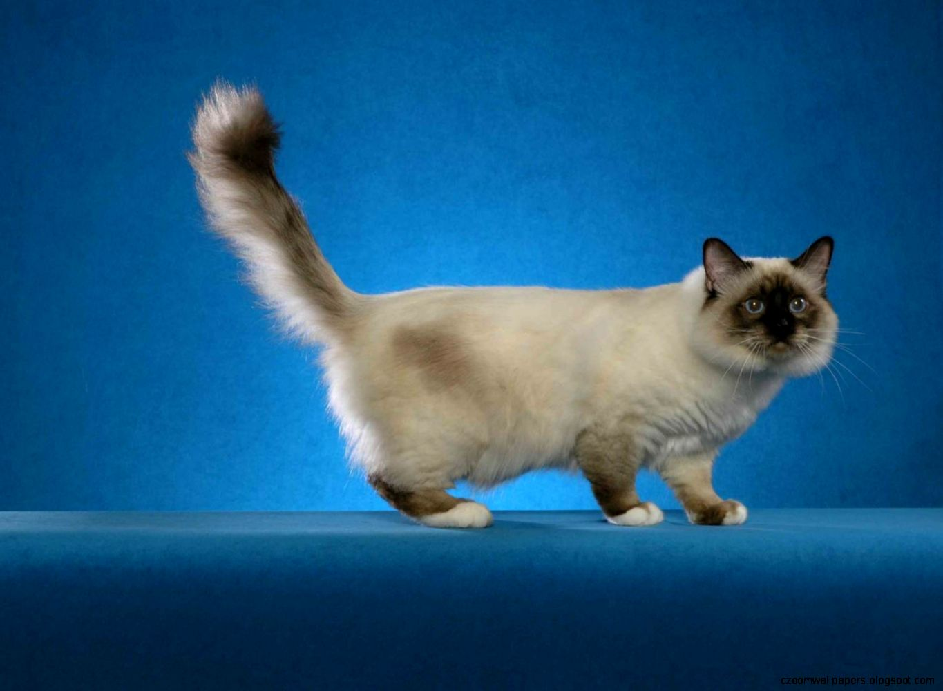Birman Cat HD Wallpapers   New WallpapersNew Wallpapers